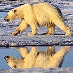 Polar Bear on Bernard Harbor